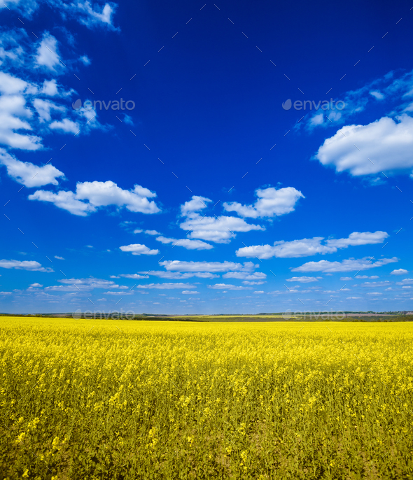 Field with oilseed rapeseed - Stock Photo - Images