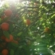 Blooming Orange Tree with Fruits on Orange Farm - VideoHive Item for Sale