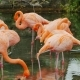 Graceful Pink Flamingos. A Flock of Beautiful Pink Birds - VideoHive Item for Sale