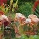 A Flock of Beautiful Pink American Flamingos - VideoHive Item for Sale