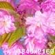 Pink Sakura Tree Flowers - VideoHive Item for Sale