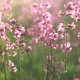 Field of Pink Flowers - VideoHive Item for Sale