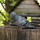 Rock pigeon sitting on wooden feeder - PhotoDune Item for Sale