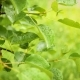 Drops of Rain on the Leaves of Cherries - VideoHive Item for Sale