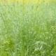 Wild Oat Field in Gloomy Weather - VideoHive Item for Sale