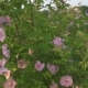 Pink Flowers on a Dogrose Bush - VideoHive Item for Sale