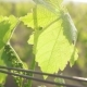 Young Bunch of Grapes with a Leaf - VideoHive Item for Sale