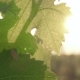 Bright Sun Shines on the Grape Leaves - VideoHive Item for Sale