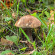 Brown Birch Bolete growing among the grass - PhotoDune Item for Sale