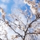 Tree Blossom - VideoHive Item for Sale