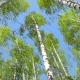 Birch Trees Bending Under the Wind - VideoHive Item for Sale
