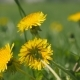 Yellow Dandelion Flowers Among Green Grass - VideoHive Item for Sale