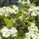 Blooming Garden. Branches of Fruit Tree in Spring. White Flowers . Inflorescences of Hawthorn. - VideoHive Item for Sale