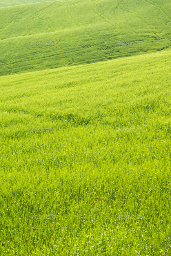 The color of the ripening wheat - Stock Photo - Images