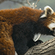 Red Panda Walk on the tree - VideoHive Item for Sale