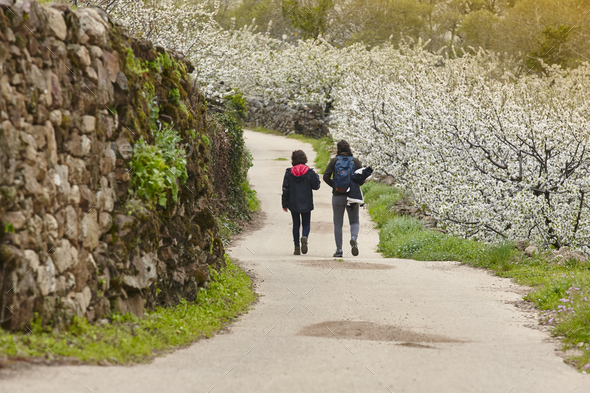 Cherry blossom pathway in Jerte Valley, Caceres. Spring in Spain - Stock Photo - Images