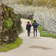 Cherry blossom pathway in Jerte Valley, Caceres. Spring in Spain - PhotoDune Item for Sale
