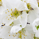 Cherry flowers blossom in Jerte Valley, Caceres. Spring in Spain - PhotoDune Item for Sale
