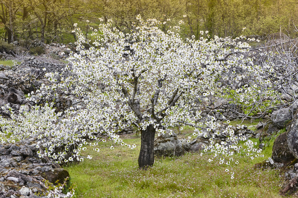 Cherry blossom in Jerte Valley, Caceres. Spring in Spain. Season - Stock Photo - Images