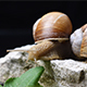 Burgundy Snail, Helix Pomatia on a Limestone Isolated over Black Background - VideoHive Item for Sale