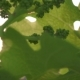 Lot of Grape Ovary on Young Shoots - VideoHive Item for Sale