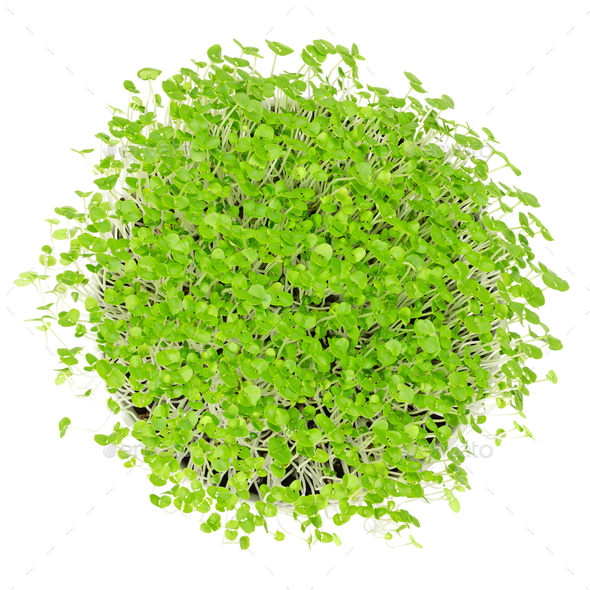 Young basil microgreens in white bowl over white - Stock Photo - Images