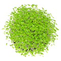 Young basil microgreens in white bowl over white - PhotoDune Item for Sale