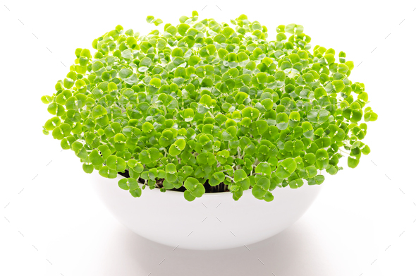 Basil microgreens in white bowl, front view, over white - Stock Photo - Images