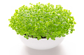 Basil microgreens in white bowl, front view, over white - PhotoDune Item for Sale