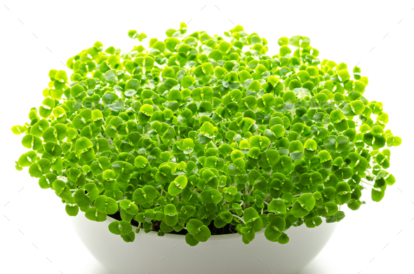 Basil microgreens in white bowl over white - Stock Photo - Images