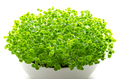 Basil microgreens in white bowl over white - PhotoDune Item for Sale