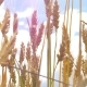 Wheat Ears Sway From the Wind Against the Blue Sky . Harvest of Cereals. Movement of Golden - VideoHive Item for Sale