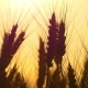 of a Silhouette of Wheat in a Field on a Sunset Background. Cultivation and Harvesting. - VideoHive Item for Sale