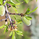 green peach fruits on tree in Goreme National Park - PhotoDune Item for Sale