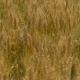 Wheat Ears Swing in the Field From the Wind, in . Harvest of Cereals. Movement of Golden Spikelets - VideoHive Item for Sale