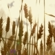 Wheat Ears Swing From the Wind, , in . Harvest of Cereals. Movement of Golden Spikelets of Wheat. - VideoHive Item for Sale