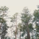 Pine Tree with Bough  in Forest - VideoHive Item for Sale