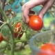 Young Woman Harvesting Ripe Plum Red Tomatoes From Branch in Her Garden and Putting Into Clear Glass - VideoHive Item for Sale