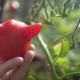 Young Woman Pampering with Unusual Red Tomato in Her Garden - VideoHive Item for Sale
