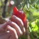 Hand of a Young Woman Picking Unusual Red Tomato From Branch in Garden - VideoHive Item for Sale