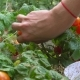 Young Woman Picking Red Cherry Tomatoes and Putting Them Into Bowl - VideoHive Item for Sale