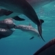 Cute Dolphins Flock - VideoHive Item for Sale