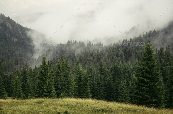 Mountain pine tree forest landscape with fog rising - Stock Photo - Images
