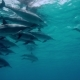 Dolphin Flock Underwater on Blue Ocean - VideoHive Item for Sale