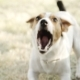 Jack Russell Terrier Dog Breed Barking - VideoHive Item for Sale