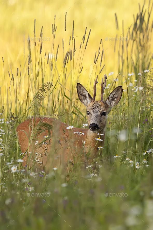 Buck deer in the wild  - Stock Photo - Images