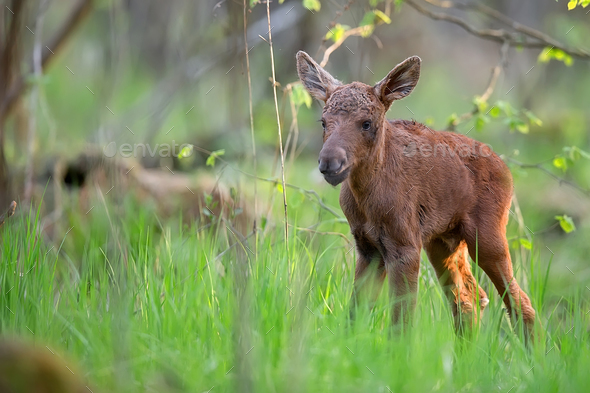 Young moose in the forest  - Stock Photo - Images