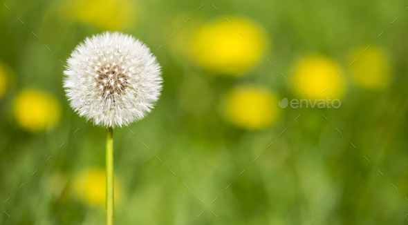 Summertime - dandelion flower head - Stock Photo - Images