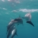Cute Dolphins Flock Close to Each Other - VideoHive Item for Sale