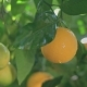 Mature Juicy Oranges Ripen on a Branch of Citrus Tree on a Sunny Day After a Tropical Rain - VideoHive Item for Sale